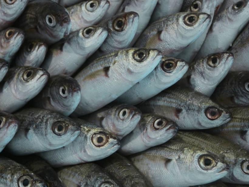 Panthalassa-fish-shortfilm-oceana