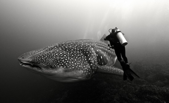 Todd Thimios underwater photo of whale shark